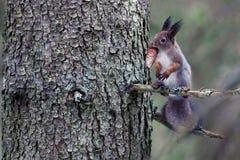 La ardilla, con un cono spruce en sus dientes, se sienta en una rama de la picea Imagen de archivo