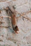 La ardilla cuelga al revés en una cerca y lo roe en las galletas Foto de archivo