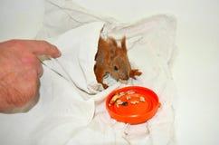 La ardilla de los animales domésticos Fotografía de archivo libre de regalías