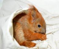 La ardilla de los animales domésticos Fotografía de archivo