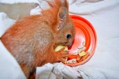 La ardilla de los animales domésticos Foto de archivo