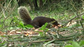 La ardilla de Pallas que busca la comida en el piso el parque de Daan en el bosque de bambú metrajes
