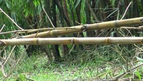 La ardilla de Pallas worming en una rama del bambú almacen de video