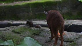 La ardilla de Pallas y el serow de Taiwán que come la comida en el bosque almacen de video