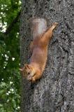 La ardilla en el árbol come una nuez, estirada hacia fuera foto de archivo