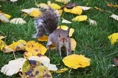 La ardilla en el parque come los cacahuetes asados Fotos de archivo libres de regalías