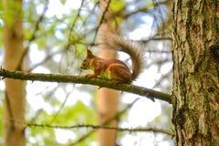 La ardilla eurasiática de la ardilla roja A en una rama come una nuez fotografía de archivo