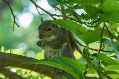 La ardilla gris delante de un árbol come una avellana que lo sostiene con imagen de archivo libre de regalías