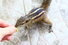 La ardilla india de la palma toma una nuez de una mano Foto de archivo libre de regalías