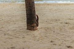 La ardilla linda está subiendo abajo de árbol de coco a la playa Fotos de archivo libres de regalías
