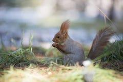La ardilla linda se sienta en hierba y come la nuez fotografía de archivo