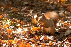 La ardilla, otoño, nuez y seca las hojas Imágenes de archivo libres de regalías
