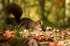 La ardilla, otoño, nuez y seca las hojas Foto de archivo libre de regalías