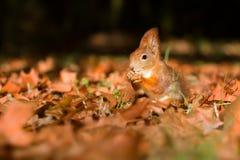 La ardilla, otoño, nuez y seca las hojas Imagenes de archivo