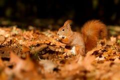 La ardilla, otoño, nuez y seca las hojas Imagen de archivo