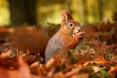 La ardilla, otoño, nuez y seca las hojas Foto de archivo