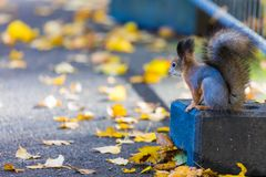 La ardilla que juega en el parque que busca la comida durante el día soleado del otoño imágenes de archivo libres de regalías