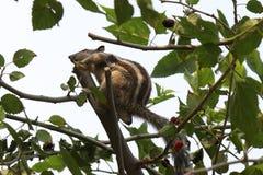 La ardilla que salta de árbol al árbol Fotografía de archivo libre de regalías