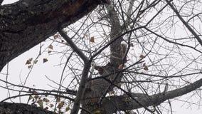 La ardilla que salta en árbol sin las hojas en otoño Visión inferior almacen de video