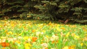 La ardilla que salta y que oculta debajo de árbol de abeto Tiro de la cámara lenta del bosque del otoño metrajes