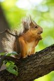 La ardilla que se sienta en la rama de un árbol foto de archivo