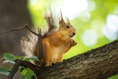 La ardilla que se sienta en la rama de un árbol fotografía de archivo libre de regalías