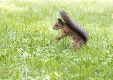 La ardilla roja con la cola mullida se coloca en hierba verde Fotos de archivo