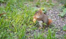 La ardilla roja del bebé entrañable con un ojo todavía apenas que se abre, sienta y come las semillas de girasol en la tierra Foto de archivo