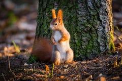 La ardilla roja linda mira el bosque cuidadoso Imágenes de archivo libres de regalías