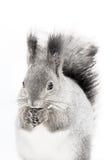 La ardilla roja o el Sciurus rojo eurasiático del sguirrel vulgaris se sienta Fotografía de archivo