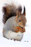 La ardilla roja o el sguirrel rojo eurasiático y el x28; Vulgaris& x29 del Sciurus; siéntese Foto de archivo