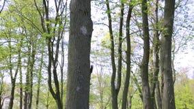 La ardilla roja o la ardilla roja eurasiática es una especie de ardilla de árbol en el género Sciurus común en Eurasia almacen de video