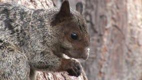 La ardilla roja roe nueces cerca para arriba en las islas de las Islas Galápagos almacen de video