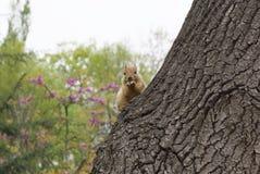 La ardilla roja se sienta en un árbol Imagenes de archivo