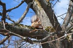 La ardilla roja se sienta en un árbol en la primavera en el día soleado Fotografía de archivo libre de regalías