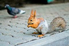 La ardilla salta al lado de la paloma Imagen de archivo libre de regalías