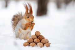 La ardilla se coloca con la nuez en patas en la nieve delante de una pila de nueces fotos de archivo