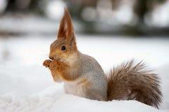 La ardilla se coloca en la nieve con una nuez en sus patas imágenes de archivo libres de regalías