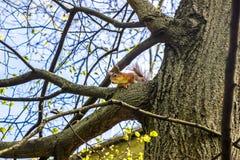 La ardilla se sienta en árbol y mira abajo en la primavera Imágenes de archivo libres de regalías