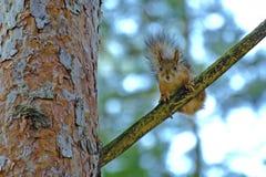 La ardilla se sienta en una rama del pino Foto de archivo
