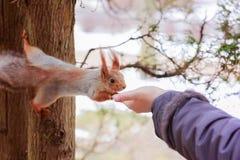 La ardilla toma la nuez de la mano del ` s de la muchacha Kislovodsk, Rusia fotos de archivo
