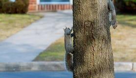 La ardilla va abajo en el tronco de un árbol en la ciudad Fotos de archivo libres de regalías