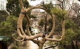 La arpillera envolvió ramas del árbol de pino entrenado tradicional, Tokio Imagenes de archivo