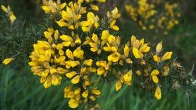La aulaga amarilla del Ulex florece en primavera temprana en Nueva Zelanda imagenes de archivo