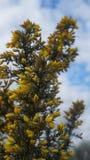 La aulaga del Ulex florece la floración en primavera temprana en Nueva Zelanda fotografía de archivo