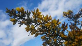 La aulaga florece en el Ulex temprano de la primavera que crece en Nueva Zelanda fotografía de archivo libre de regalías