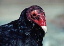La aureola del Cathartes del buitre de pavo , también sabido en algunas regiones norteamericanas como el halcón de pavo (o apenas Imagenes de archivo