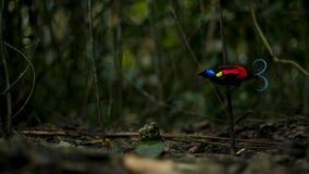 La ave del paraíso de Wilson que compite para atraer a una hembra bailando en el abatimiento del piso del bosque fotos de archivo libres de regalías