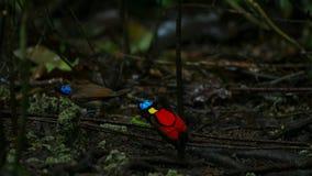 La ave del paraíso de Wilson que compite para atraer a una hembra bailando en el abatimiento del piso del bosque foto de archivo