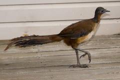 La ave lira de Albert Fotografía de archivo libre de regalías